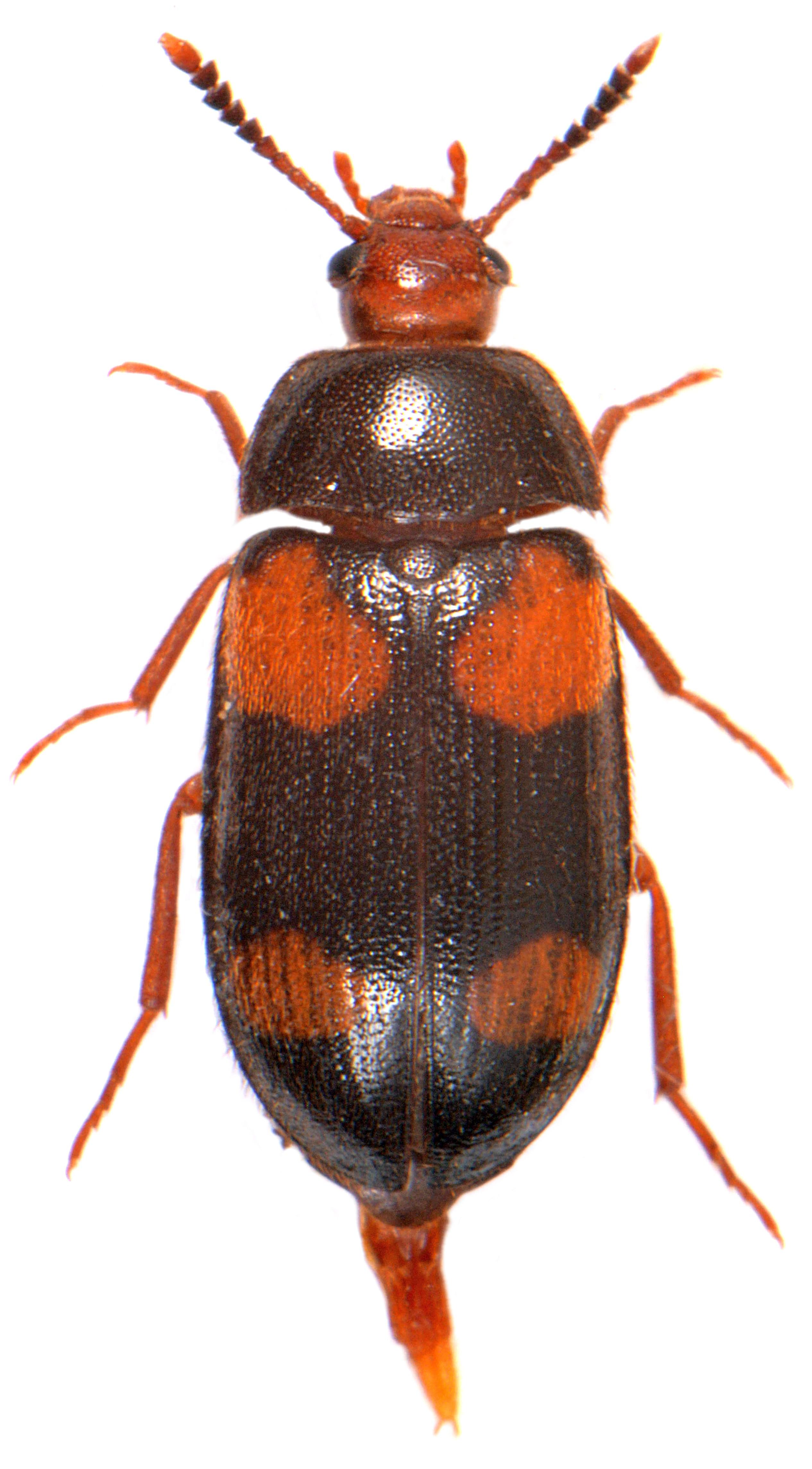 Mycetophagus quadripustulatus 2