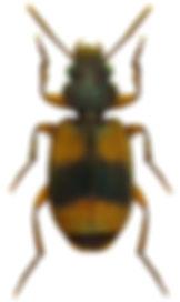 somotrichus_unifasciatus_1a.jpg