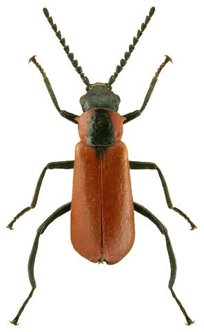 Anthocomus rufus