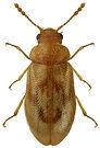 Phloiophilus edwardsii 1LB.jpg