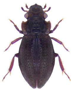 Aulacochthebius exaratus