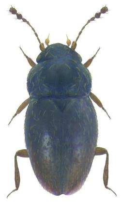Ptenidium pusillum 2