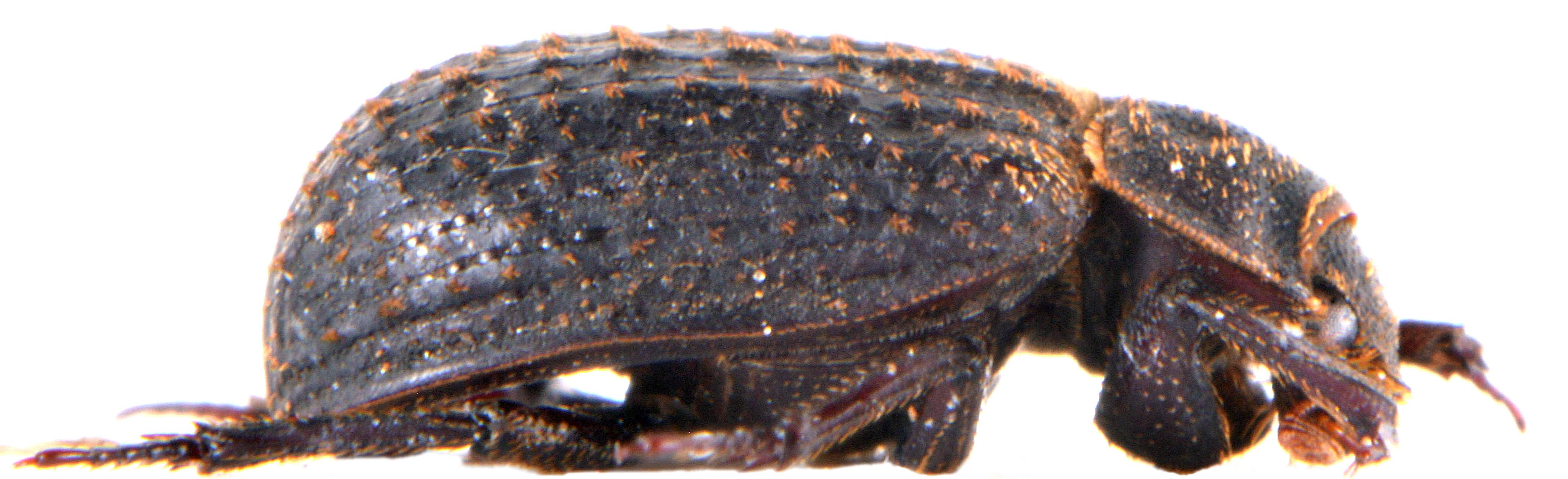 Trox sabulosus
