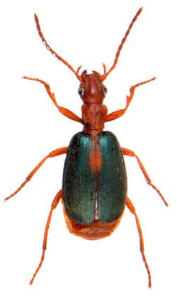 Brachinus sclopeta