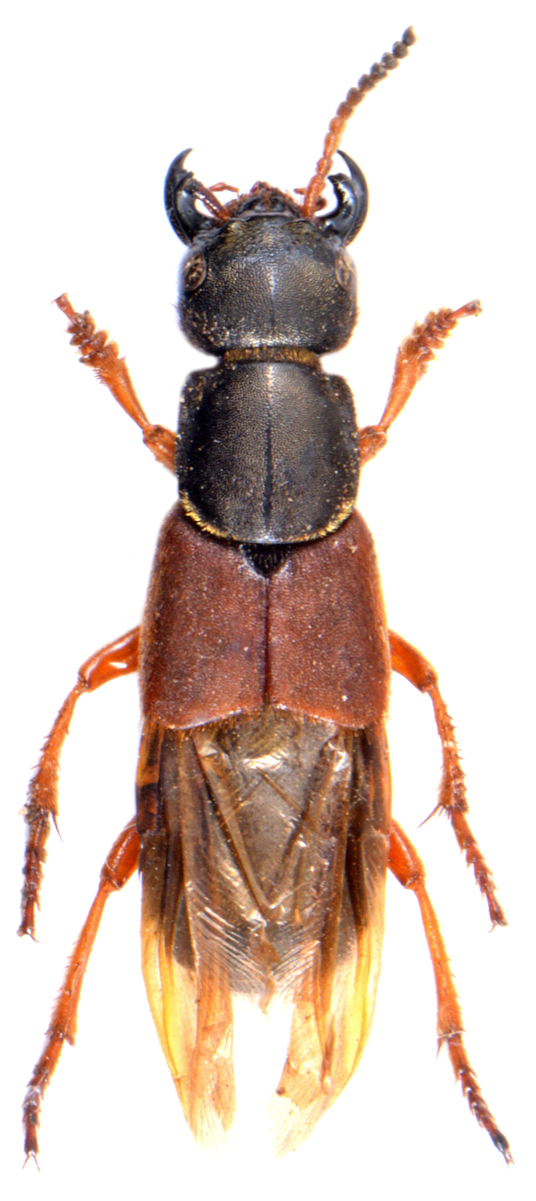 Staphylinus dimidiaticornis 2
