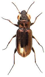 Notiophilus substriatus 1.jpg
