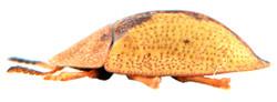 Cassida vibex 4