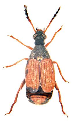 Callosobruchus maculatus 2