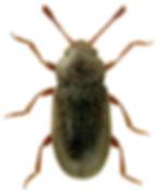 Telmatophilus brevicollis 1lb.jpg