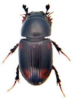 Phalacronothus quadrimaculatus 2
