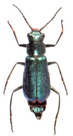 Cordylepherus viridis 1