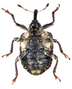 Cionus scrophulariae 3