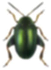 Dibolia cynoglossi.jpg