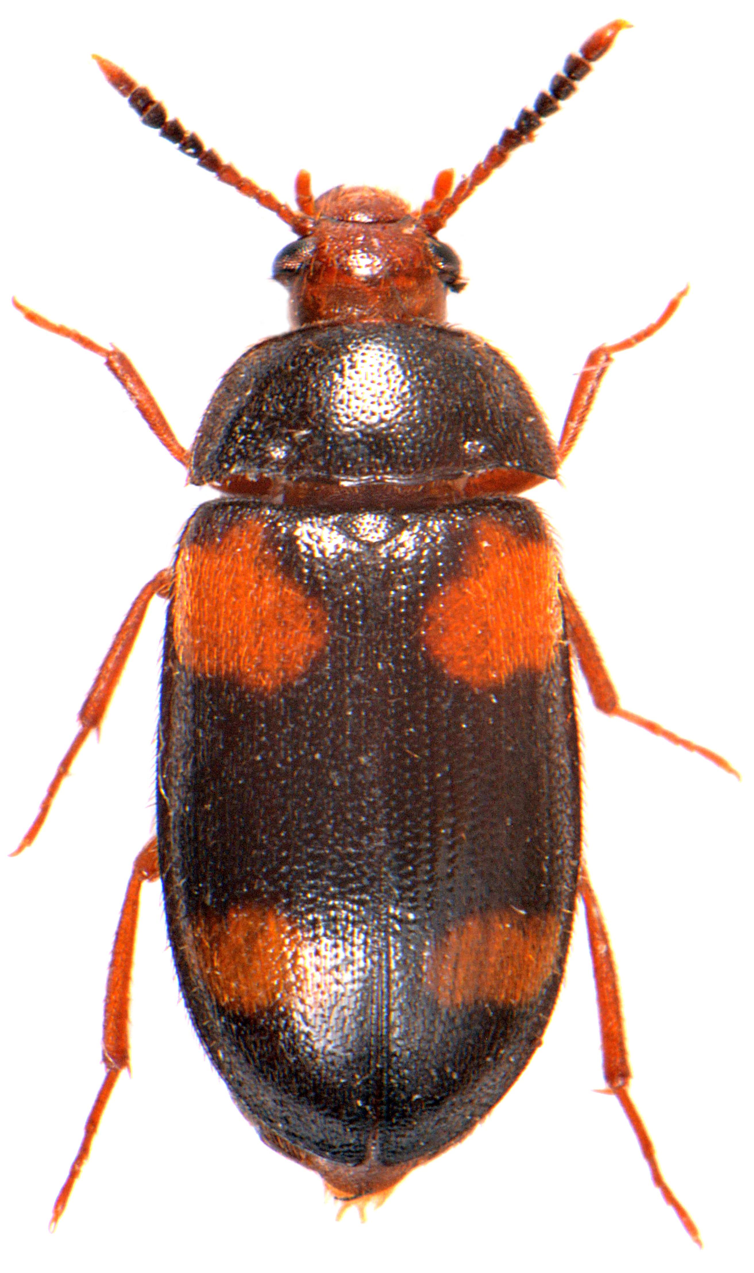 Mycetophagus quadripustulatus 1