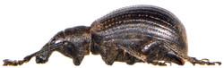 Liophloeus tessulatus 4