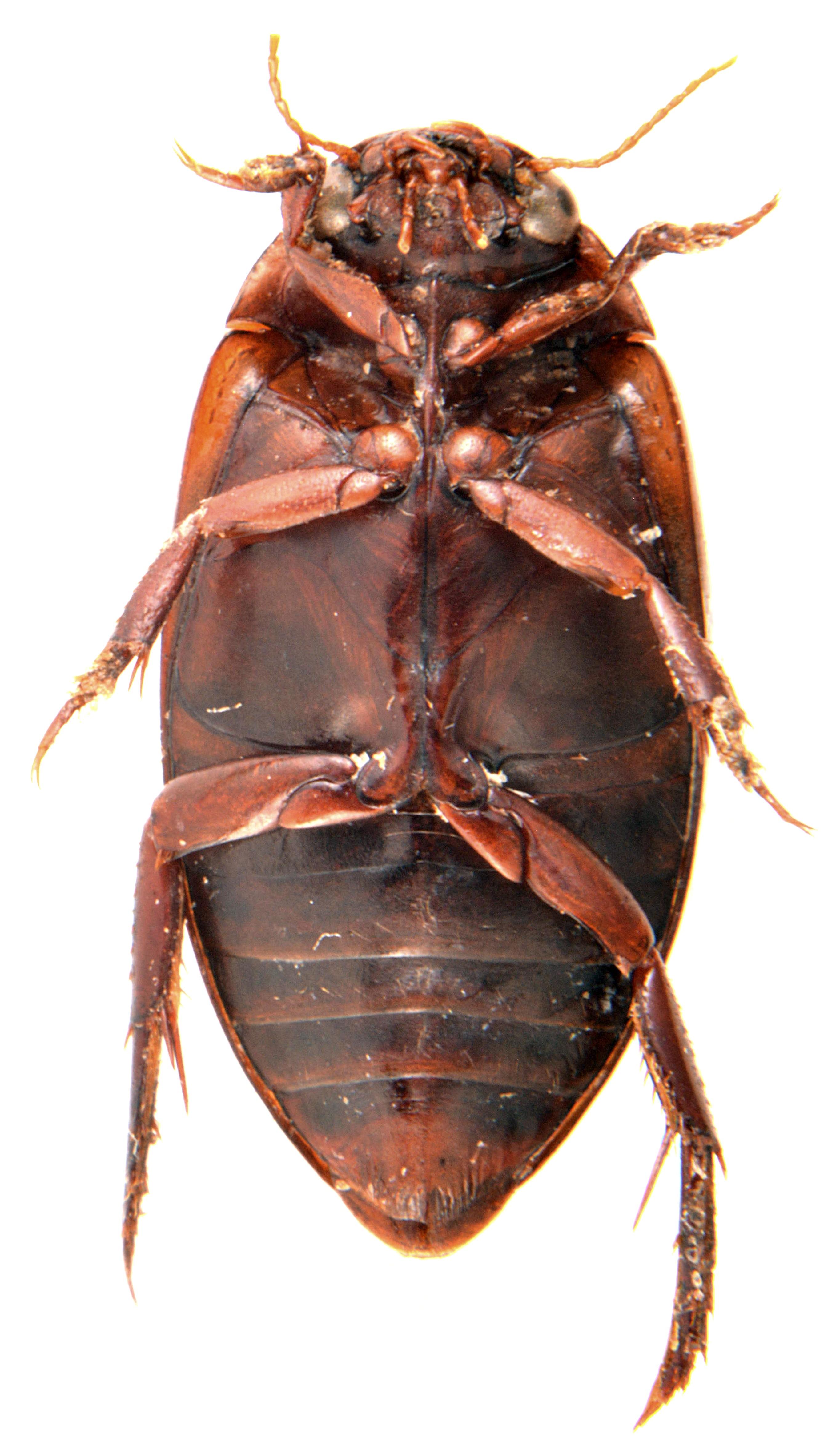 Ilybius fuliginosus