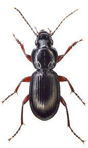 Pterostichus madidus 1.jpg