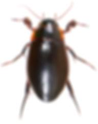 Dytiscus dimidiatus 1.jpg