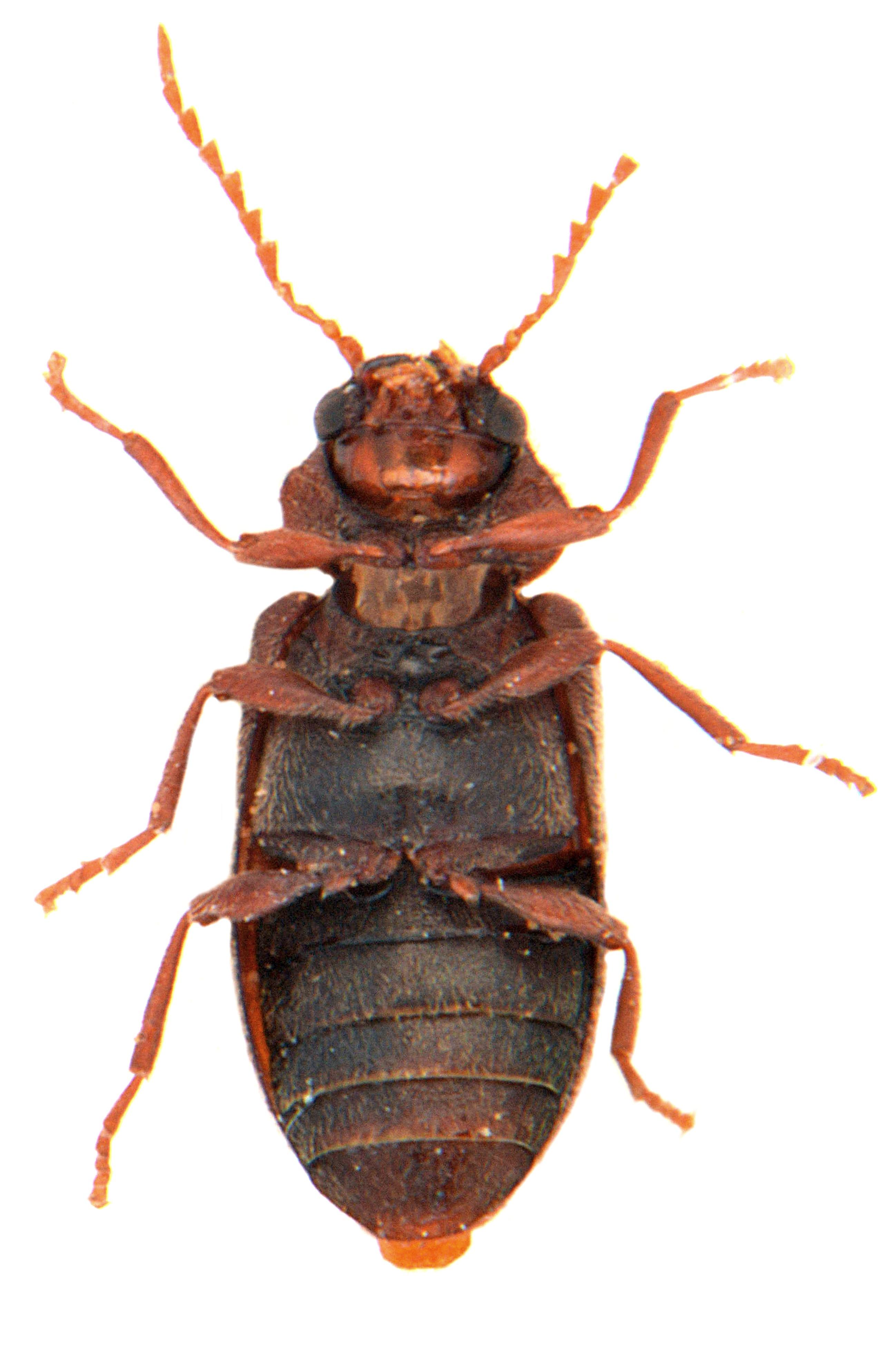 Ochina ptinoides 3