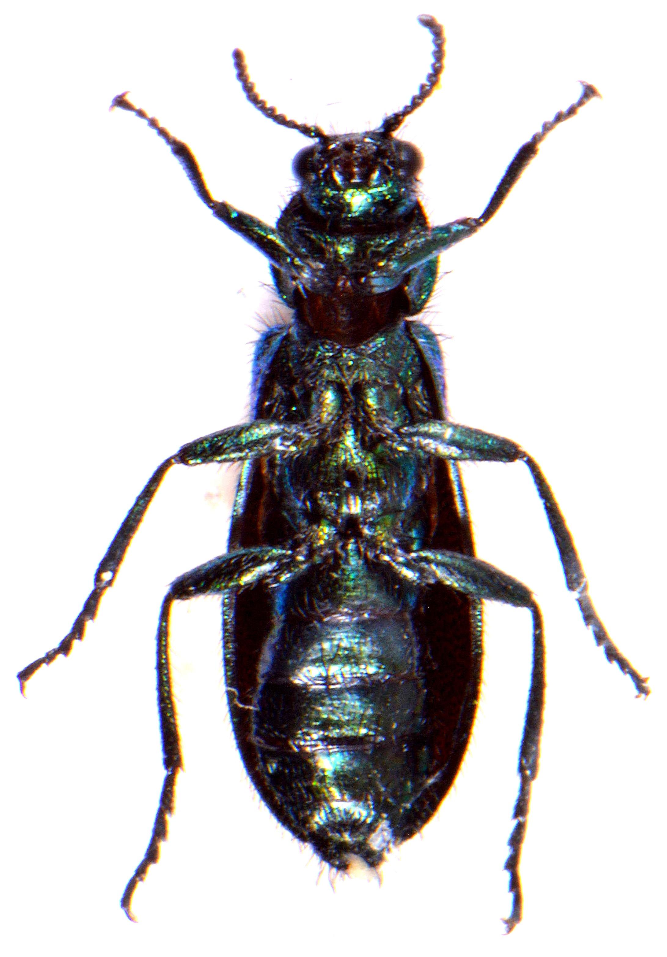 Psilothrix viridicoerulea 4