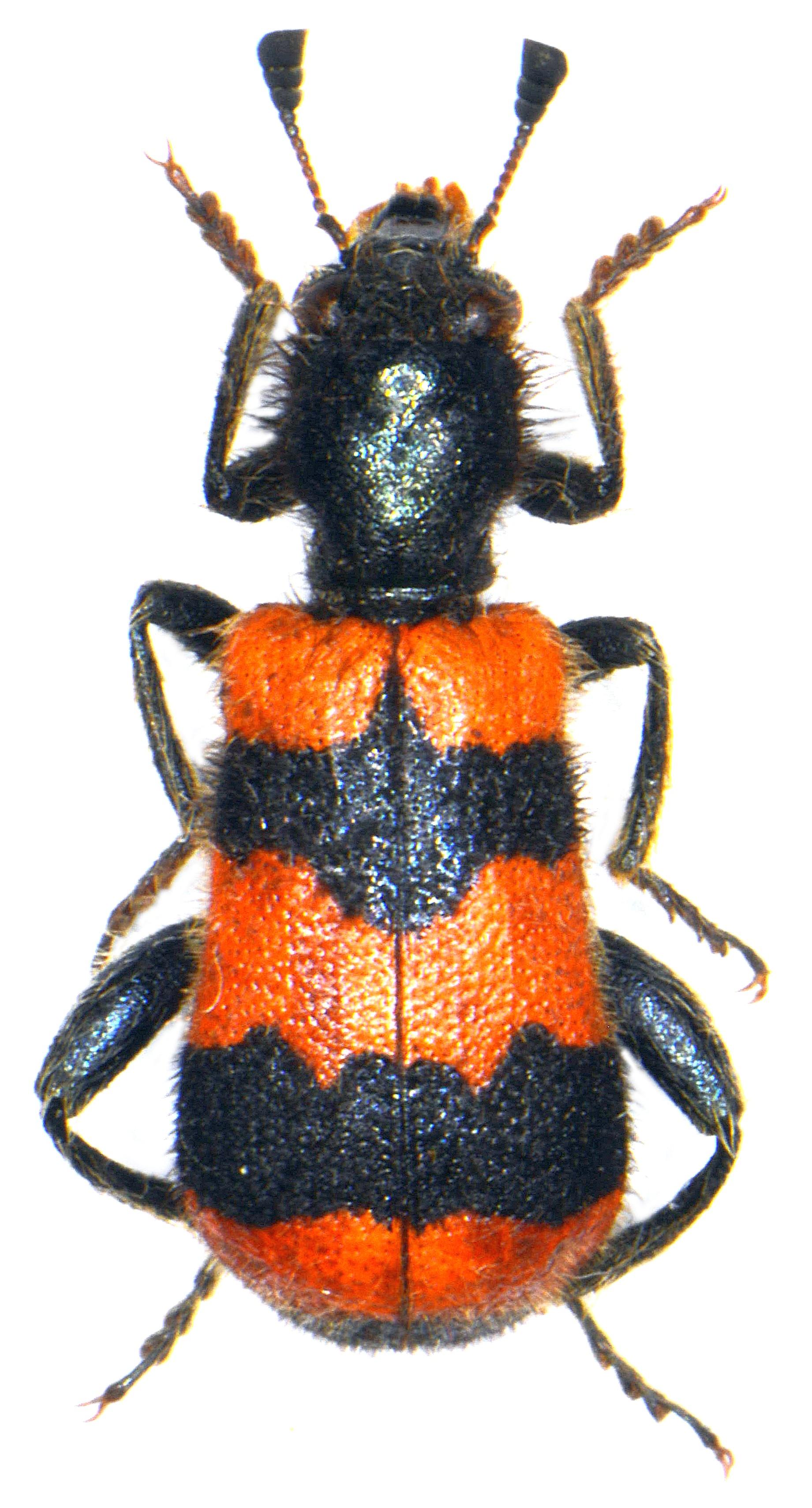 Trichodes apiarius 1