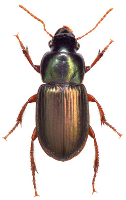 Harpalus affinis 1