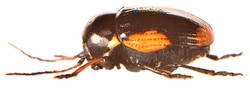 Cryptocephalus moraei 4