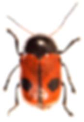 Cryptocephalus bipunctatus.jpg