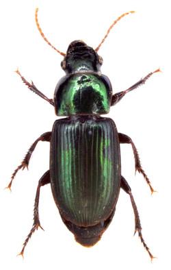 Harpalus affinis 2