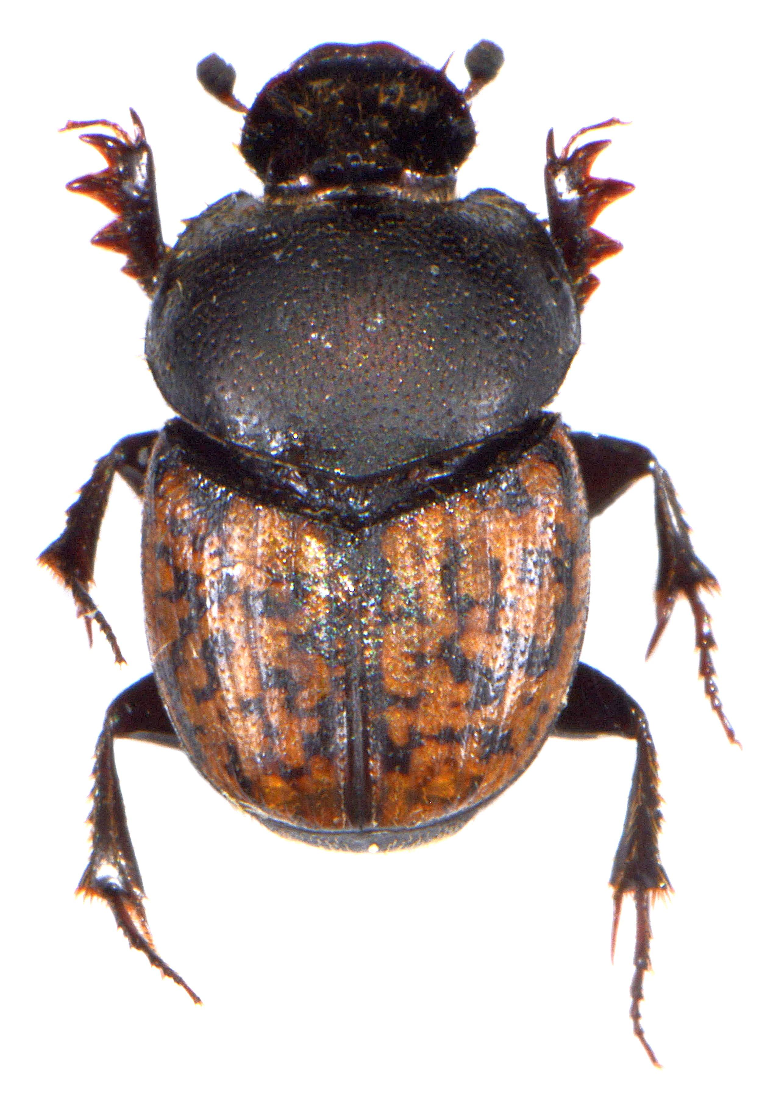 Onthophagus nuchicornis 2