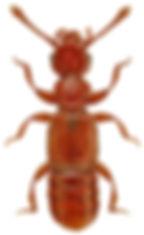 Plectophloeus erichsoni.jpg