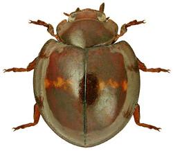 Chilocorus bipustulatus 3
