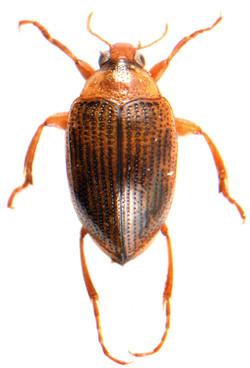 Haliplus laminatus 1