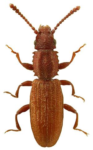 Oryzapehilus surinamensis
