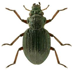 Enicocerus exsculptus