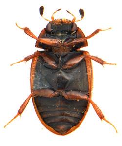 Cercyon unipunctatus 2