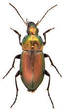 Poecilus versicolor.jpg