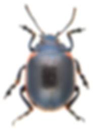 Chrysolina sanguinolenta 2a.jpg