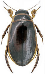 Dytiscus circumflexus.jpg