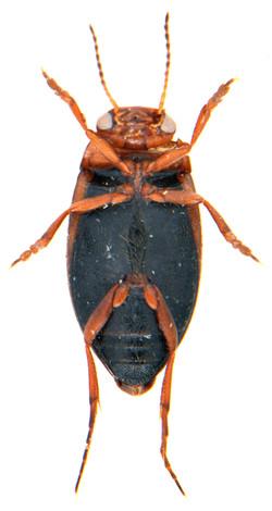 Hydroporus palustris 3