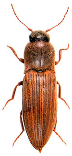 Agriotes lineatus 1.jpg