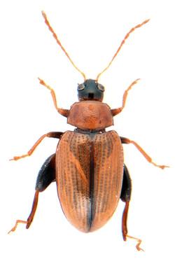 Psylliodes affinis 3