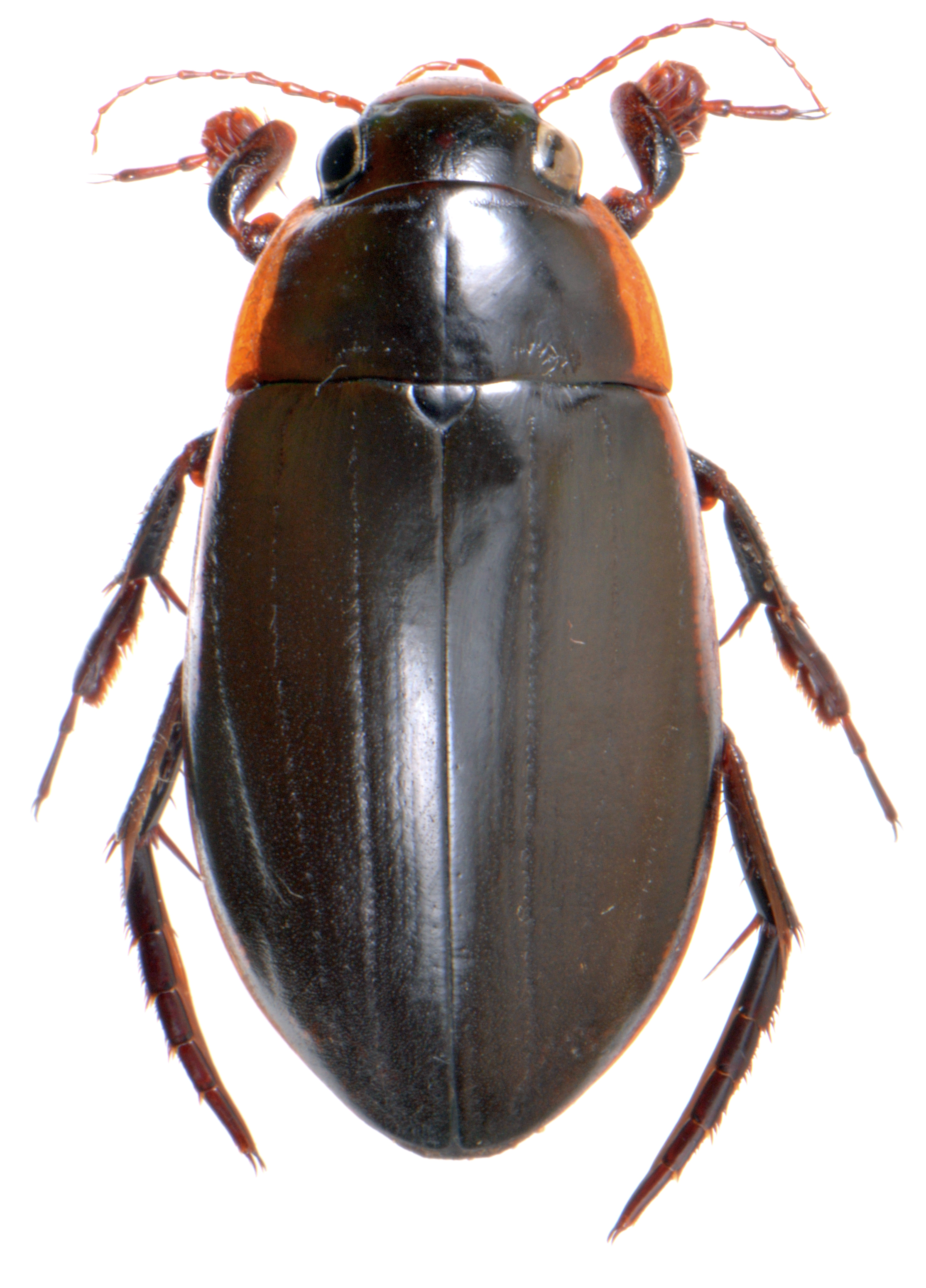 Dytiscus semisulcatus ♂