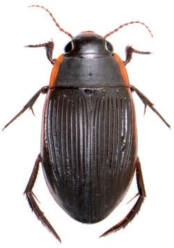 Dytiscus semisulcatus ♀
