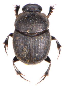 Onthophagus joannae 1