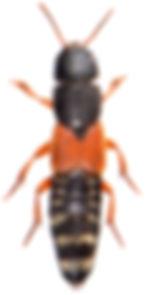 Platydracus stercorarius 4.jpg