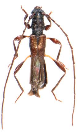 Glaphyra umbellatarum 3