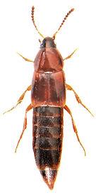 Mycetoporus lepidus 1.jpg
