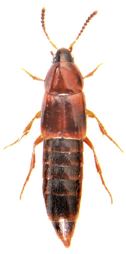 Mycetoporus lepidus