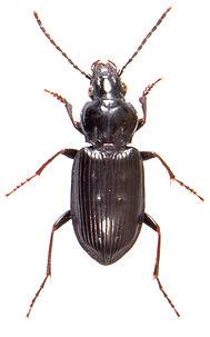 Pterostichus quadrifoveolatus 1.jpg